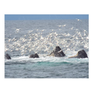 Humpback whales and seagulls, Seward, Alaska Postcard