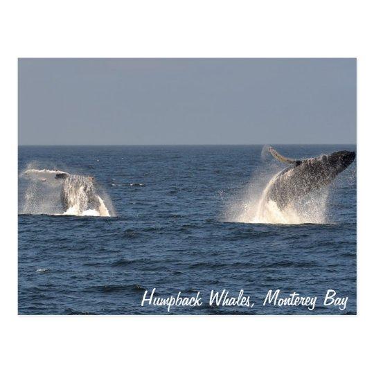 Humpback Whales Breaching Postcard