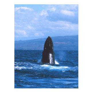 Humpback Whales Jumping Postcard