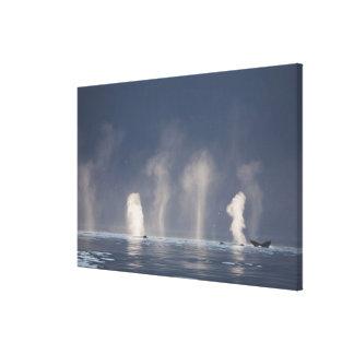 Humpback Whales Megaptera novaeangliae) Canvas Print