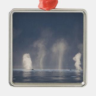 Humpback Whales Megaptera novaeangliae) Christmas Tree Ornament