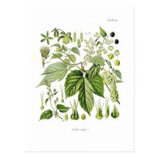 Humulus lupulus (Hop) Postcard