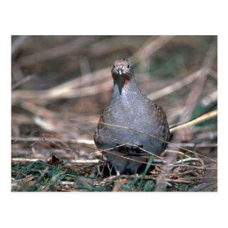 Hungarian partridge postcard