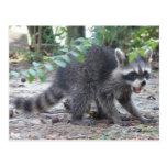Hungry Baby Raccoon Postcard