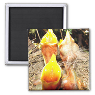 Hungry Baby Robins 2 Inch Square Magnet