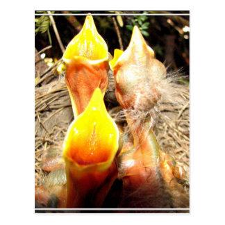 Hungry Baby Robins Postcard