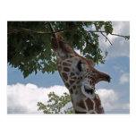 Hungry Giraffe Postcard