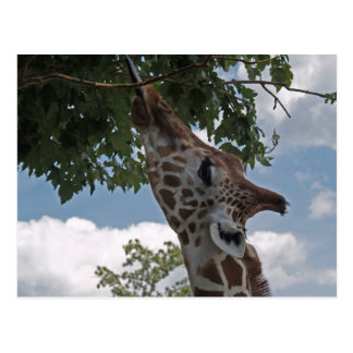 Hungry Giraffe Postcard
