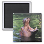 Hungry Hippo 2 Inch Square Magnet