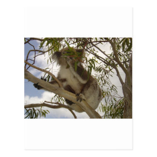 Hungry Koala Postcard