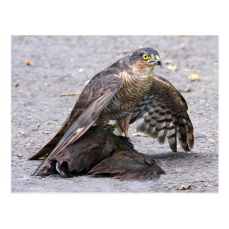 Hungry Sparrowhawk Postcard