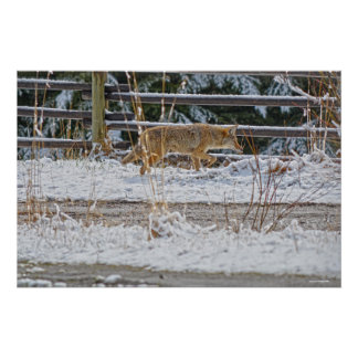 Hunting Coyote and Winter Snow Wildlife Photo Poster