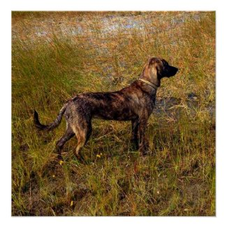 Hunting Dog in Wetlands Poster