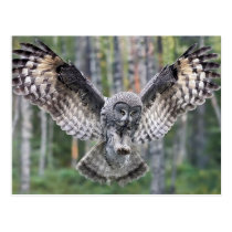Hunting Great grey owl Postcard