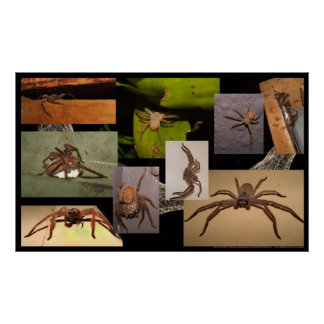 Huntsman Spider Posters
