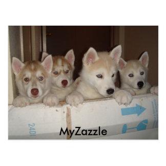 huskies1, MyZazzle Postcard