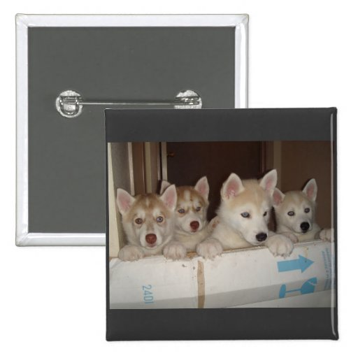 huskies trying to get free 2 inch square button