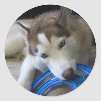 husky and the frisbee round sticker