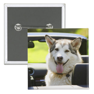 Husky dog from convertible pinback button