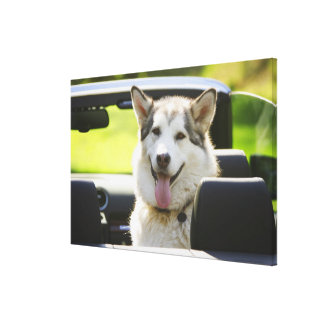 Husky dog from convertible canvas print