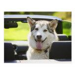 Husky dog from convertible postcard