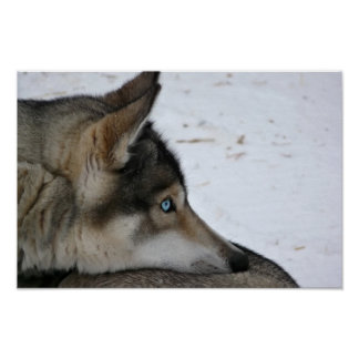 Husky dog with blue eyes poster