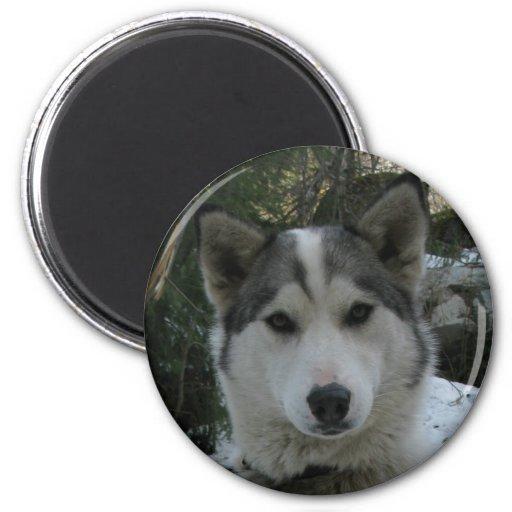 husky fridge magnet