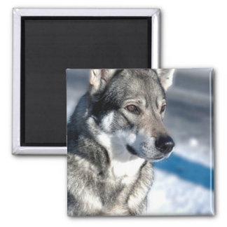 Husky in Snow Magnet Fridge Magnet