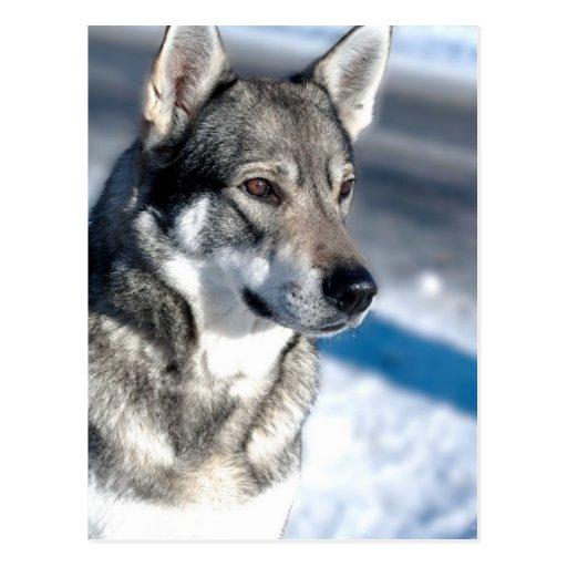 Husky in Snow Postcard