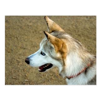 Husky Portrait Postcard