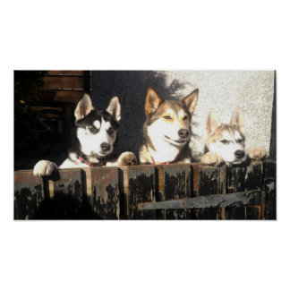 Husky Print.. Peeking !! Poster