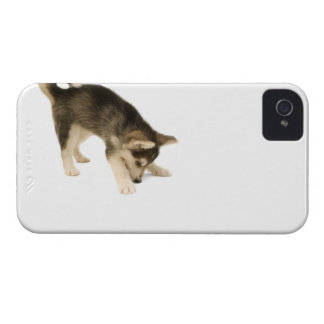 Husky Puppy 2 iPhone 4 Covers