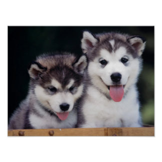 Husky Puppy Poster