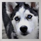 Husky Puppy Poster