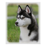 Husky siberiano 9Y570D-006 Poster