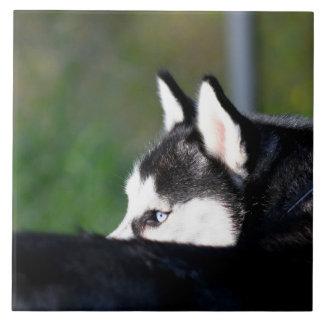 Husky siberiano azulejo cuadrado grande