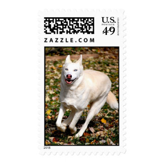 Husky siberiano blanco sellos