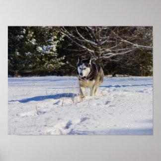 Husky siberiano en la nieve póster