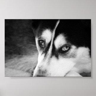 Husky siberiano poster