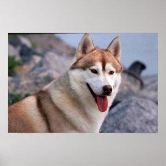 Husky siberiano póster