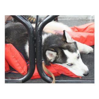 Husky siberiano que intenta nap en un barco postal