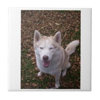 Husky siberiano sonriente azulejo cuadrado pequeño