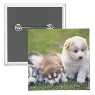 Husky siberiano; Una raza del perro de trabajo eso Pins