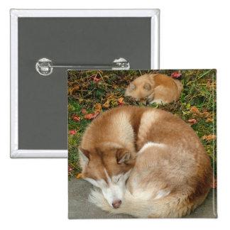 Husky siberiano y perro de Pomerania Pomeranian de Pin Cuadrado