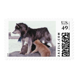 Husky with litter of pups postage