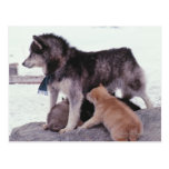 Husky with litter of pups postcard