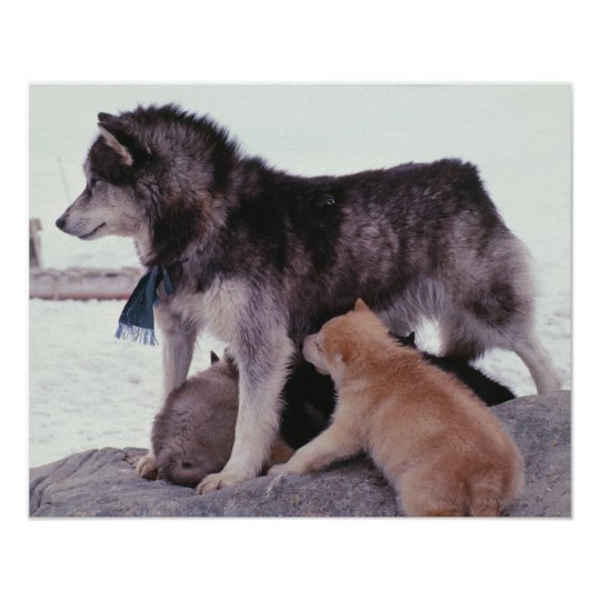Husky with litter of pups poster
