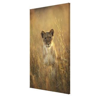 Hwange National Park, Zimbabwe. Gallery Wrapped Canvas