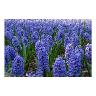 Hyacinth bed poster