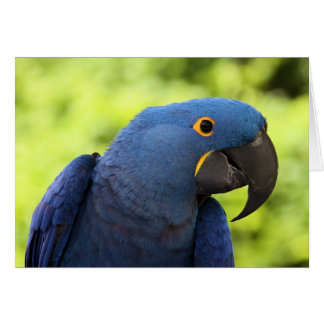 Hyacinth Macaw Card